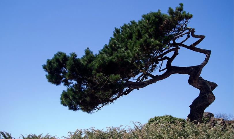 フランス海岸松樹皮エキス