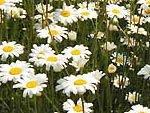 除虫菊を主原料に使い、天然成分100%で安心安全な、かえる印のナチュラル蚊取り線香