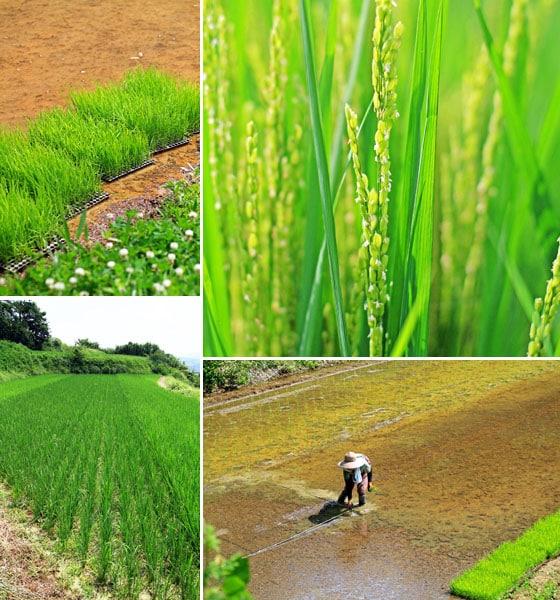 無農薬・無肥料・天日干し、吉田自然農園の自然栽培「きぬむすめ」玄米