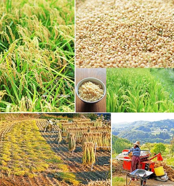 自然栽培「きぬむすめ」玄米、無農薬・無肥料・天日干し・西日本産