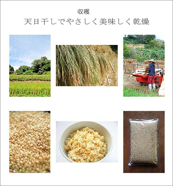 自然栽培による、無農薬・無肥料・天日干しの玄米あきたこまちち五分づき