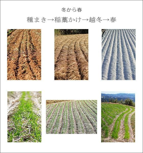 無農薬・無肥料による、自然栽培の小麦粉