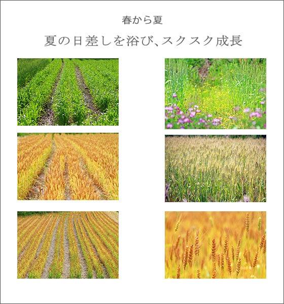 自然栽培による、無農薬・無肥料・天日干しの小麦粉