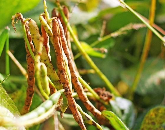 西日本産、無農薬・無肥料で育てた自然栽培の小豆<br>