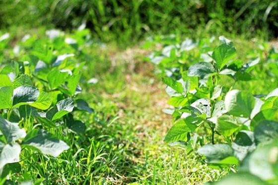 西日本産、無農薬・無肥料で育てた自然栽培の白大豆<br>