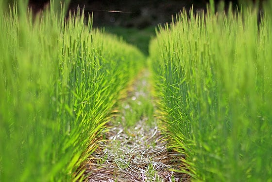 自然栽培「大麦丸粒・大麦粉」でダイエット、生活習慣病対策