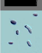光合成細菌