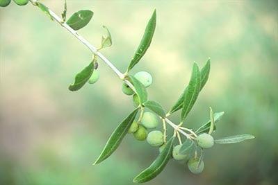 早摘みエクストラバージンオリーブオイルオリーブの木