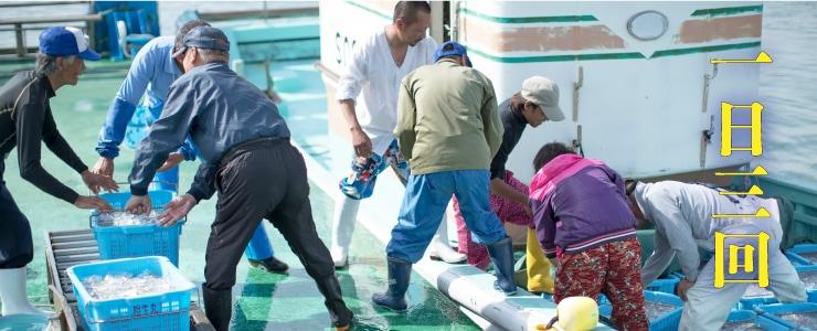 吉田港のしらすの水揚げは一日三回