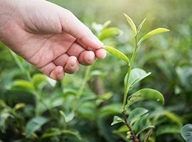 世界の紅茶産地について