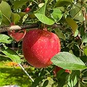 りんご フジ 5kg
