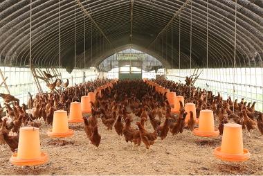 屋内の比内地鶏