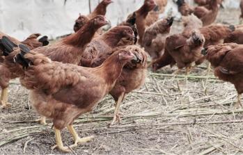 野外の比内地鶏