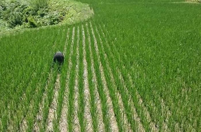 田んぼの草取り