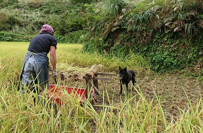 籾についたヒゲを取り除く作業