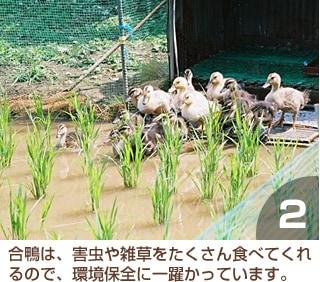 合鴨は、害虫や雑草をたくさん食べてくれるので、環境保全に一躍かっています。