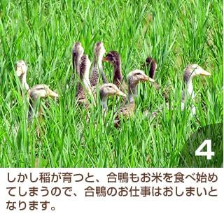 しかし稲が育つと、合鴨もお米を食べ始めてしまうので、合鴨のお仕事はおしまいとなります。