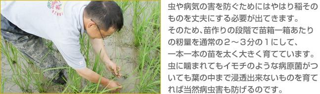 虫や病気の害を防ぐためにはやはり稲そのものを丈夫にする必要が出てきます。そのため、苗作りの段階で苗箱一箱あたりの籾量を通常の2〜3分の1にして、一本一本の苗を太く大きく育てています。虫に噛まれてもイモチのような病原菌がついても葉の中まで浸透出来ないものを育てれば当然病虫害も防げるのです。