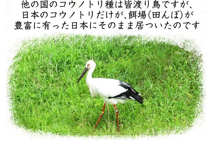 他の国のコウノトリ種は皆渡り鳥ですが、日本のコウノトリだけが、餌場が豊富に有った日本にそのまま居着いたのです。