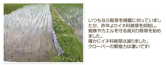 イネ科雑草を抑制し、蜘蛛やカエルを守る高刈り除草を始めました。確かにイネ科雑草は減りました。クローバーの繁殖力は凄いです!