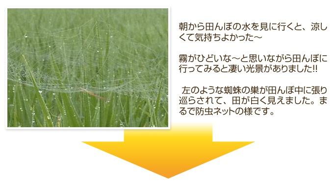 霧がひどいな〜と思いながら田んぼに行ってみると凄い光景がありました!! 左のような蜘蛛の巣が田んぼ中に張り巡らされて、田が白く見えました。まるで防虫ネットの様です。