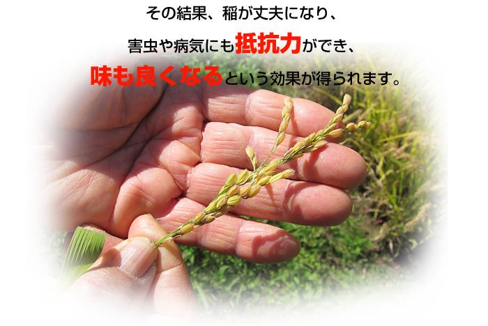その結果、稲が丈夫になり、害虫や病気にも抵抗力ができ、味も良くなるという効果が得られます。