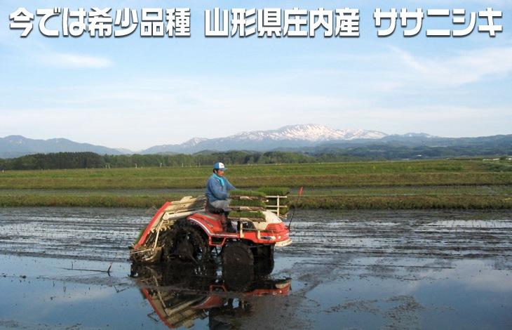 今では希少品種 山形県庄内産 ササニシキ