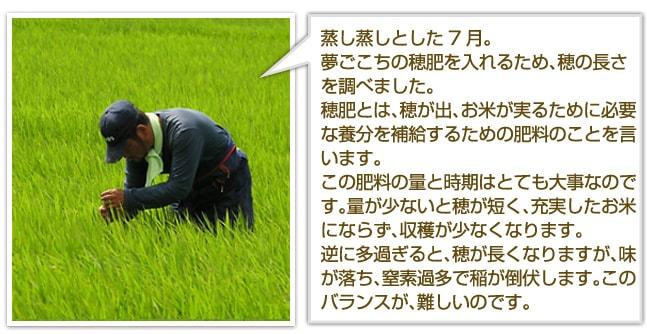 蒸し蒸しとした7月。夢ごこちの穂肥を入れるため、穂の長さを調べました。穂肥とは、穂が出、お米が実るために必要な養分を補給するための肥料のことを言います。この肥料の量と時期はとても大事なのです。量が少ないと穂が短く、充実したお米にならず、収穫が少なくなります。逆に多過ぎると、穂が長くなりますが、味が落ち、窒素過多で稲が倒伏します。このバランスが、難しいのです。