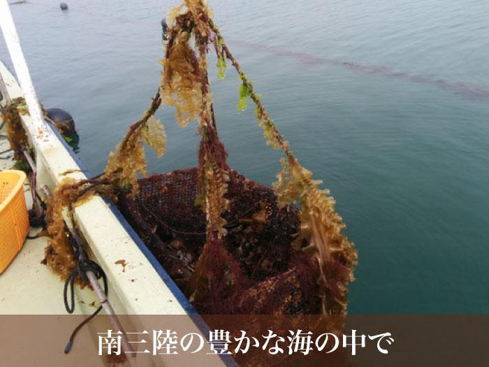 森のミネラルをたっぷり含んだ宮城県南三陸の海の中で