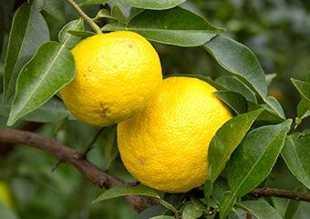 木頭果樹研究会が柚子を普及させました。