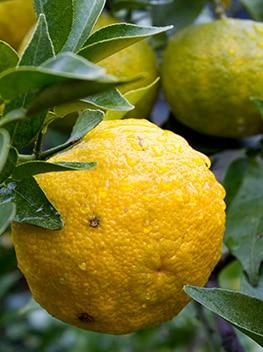 日本一の柚子