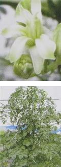 モリンガの花、木