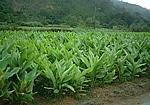 沖縄県内の秋ウコン畑