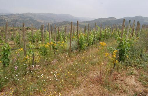 「自然との共生」を大事にしたブドウ畑