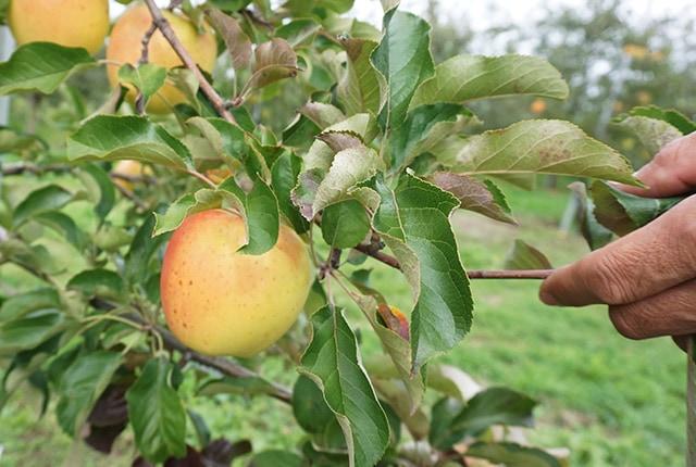 葉とらずりんご 王林