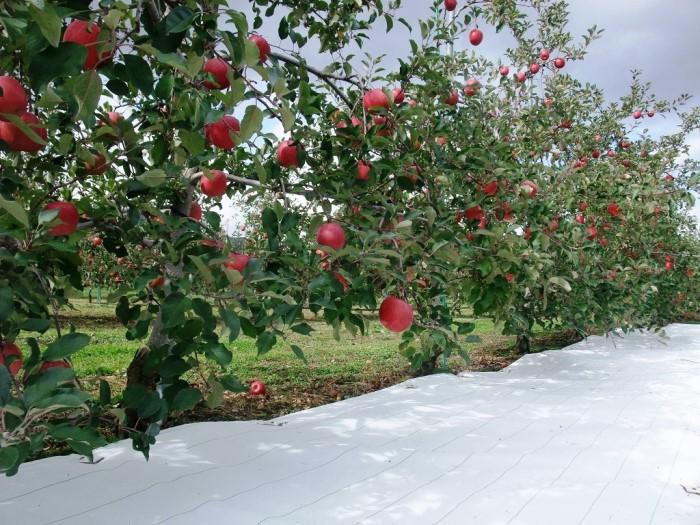 白ピカ使用例 りんご