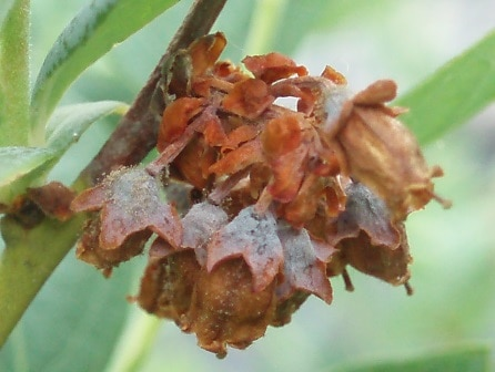 ブルーベリーの花についた灰色かび病