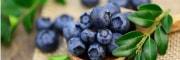 ブルーベリー品種特性と収穫期
