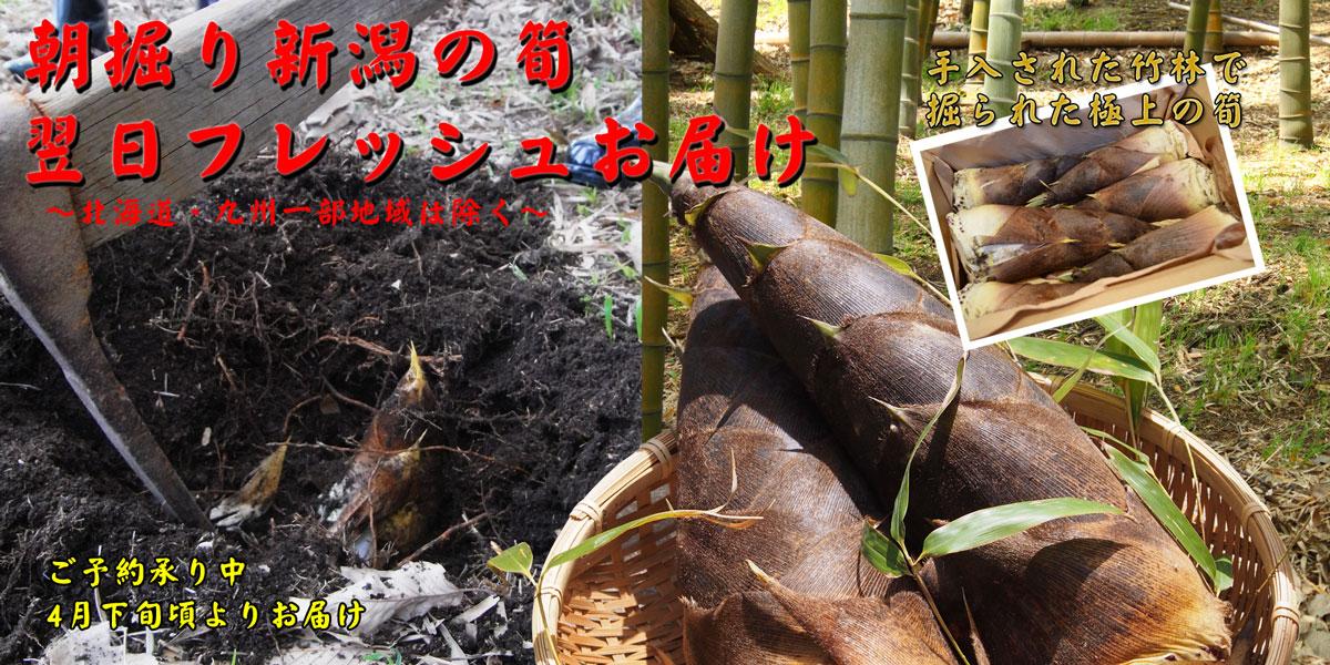 新潟の旬 筍 四月下旬頃より お届け 朝掘りのえぐみの無い筍 筍ご飯