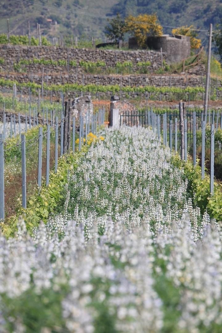 有機栽培されるブドウ畑