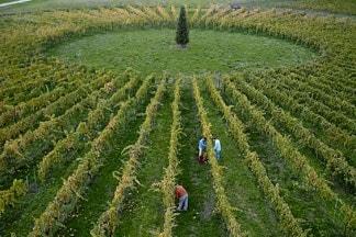 アヴィニョネージ畑