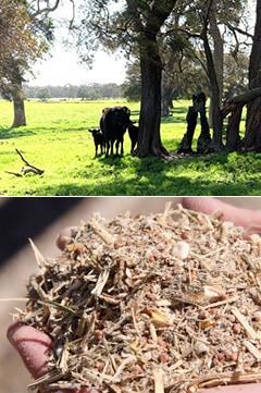 オーストラリアで飼育する牛と栄養価の高い穀物