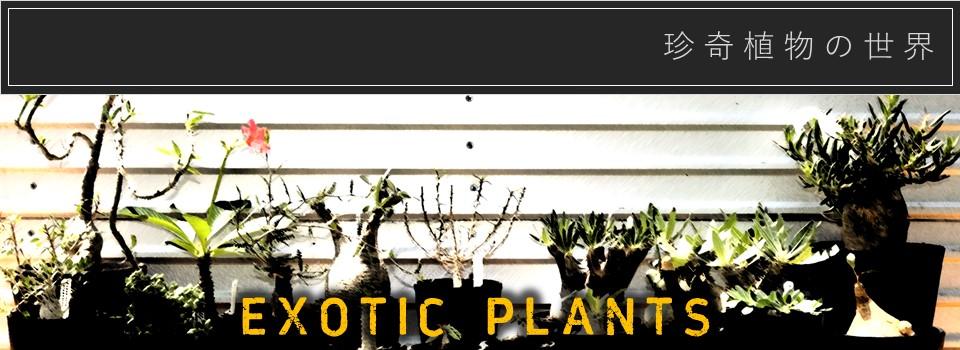 珍しい植物の通販ならエフラ。塊根植物、サンセベリア、サボテン、多肉植物など様々な植物の中から珍奇植物を選び販売しています