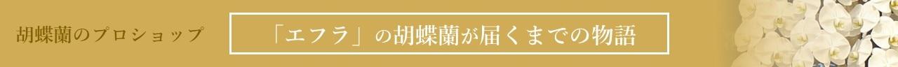 エフラの胡蝶蘭が産地直送で届くまでの物語