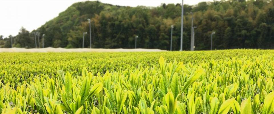 川原製茶の茶畑