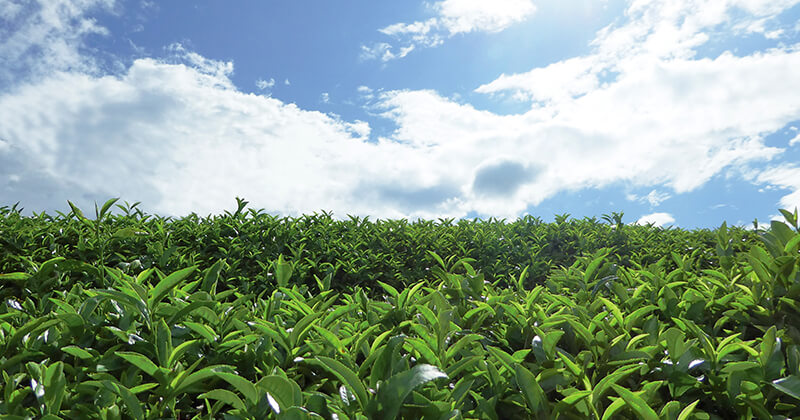八女の茶畑