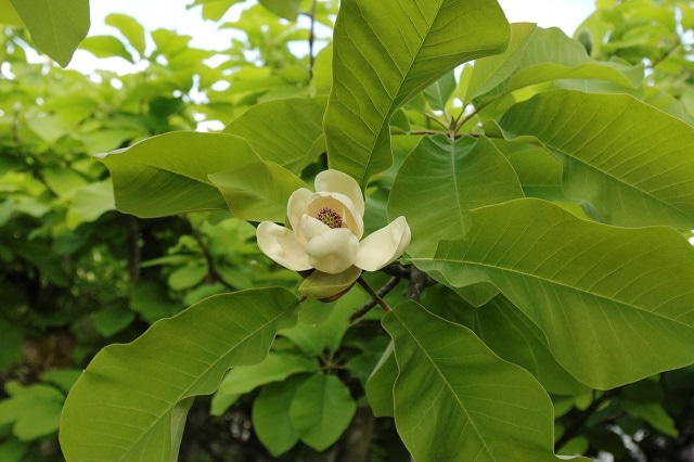 朴の葉 すくすく 瑞々しい朴の葉 自家栽培した朴葉を使った朴葉もち