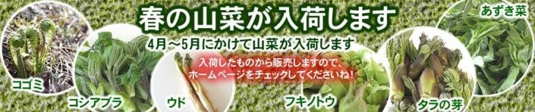 飛騨の山菜 ふきのとう あずき菜 こしあぶら 行者にんにく こごみ うど たらの芽