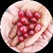 採れたてのコーヒー豆