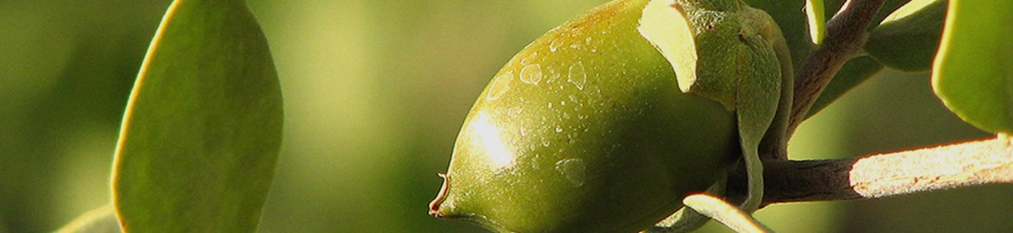 年齢肌用化粧水のことなら | 4.ホホバ種子油